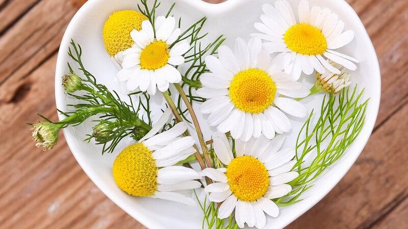 Merkmale und Standorte sowie Inhaltsstoffe und Verwendung der Kamille als Heilmittel