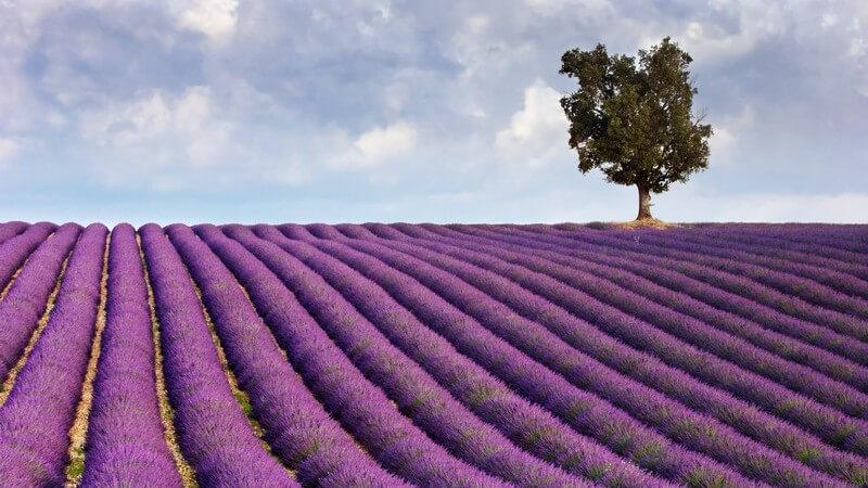 Merkmale, Standorte, Inhaltsstoffe und Verwendung des Lavendels als Heilmittel und in der Küchenzutat oder Kosmetik