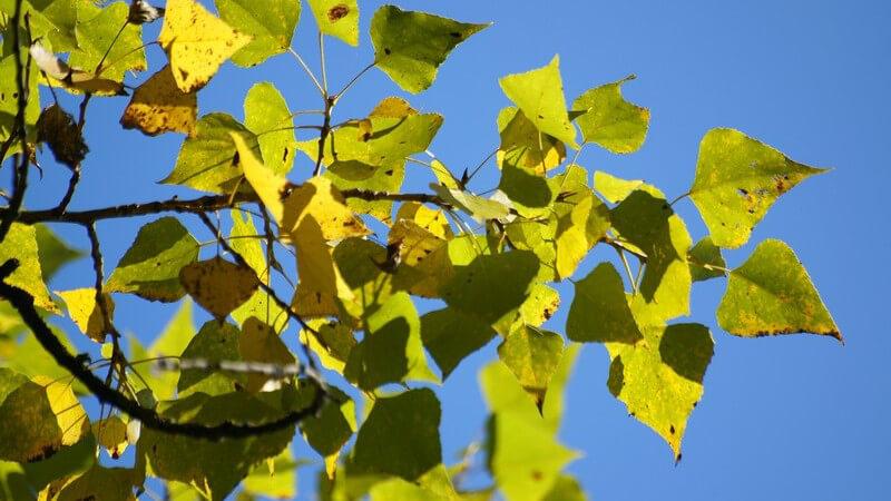 Merkmale, Arten und Erkrankungen der Pappel sowie Verwendungsmöglichkeiten des Holzes und als Heilmittel