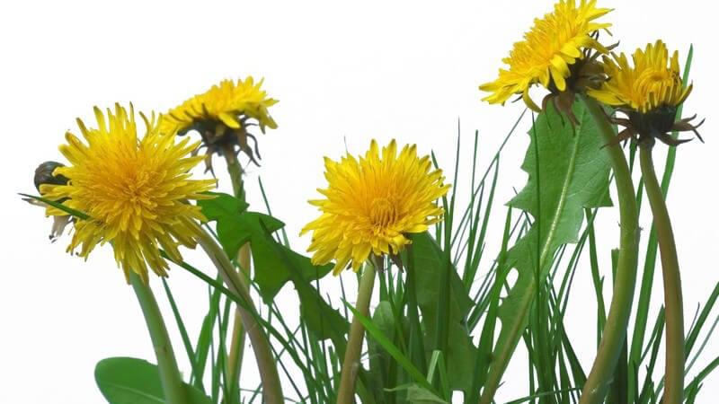 Merkmale, Standorte, Inhaltsstoffe und Verwendung des Löwenzahns als Heilmittel, Küchenzutat und Kosmetikum