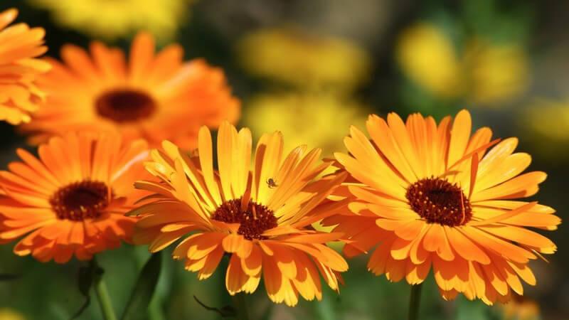 Merkmale, Standorte, Inhaltsstoffe und Verwendung der Ringelblume als Heilmittel, Kosmetikum und Küchenzutat