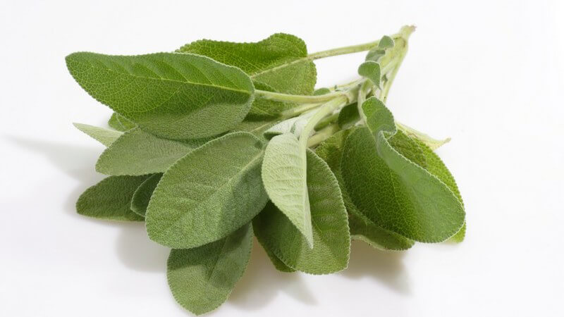 Merkmale, Arten, Standorte, Inhaltsstoffe und Verwendung des Salbeis als Heilmittel, Gewürz und Kosmetikum