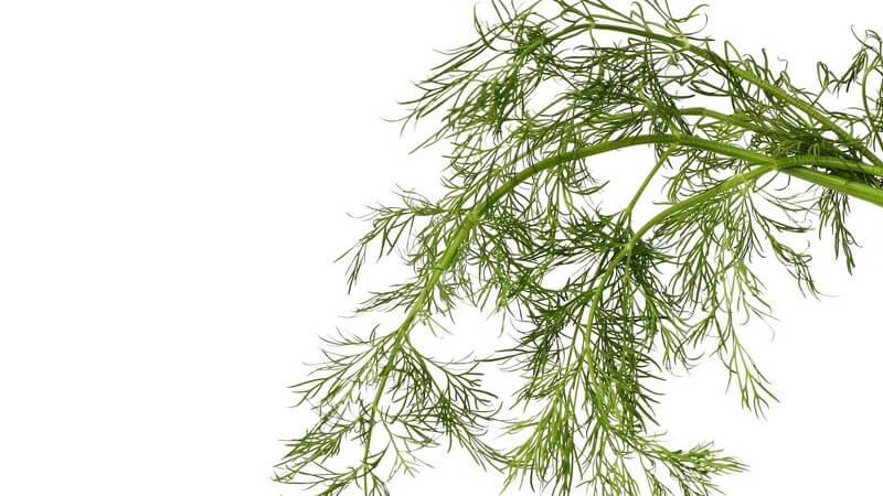 Merkmale, Arten, Standorte, Inhaltsstoffe und Verwendung des Dills als Heilmittel und in der Küche
