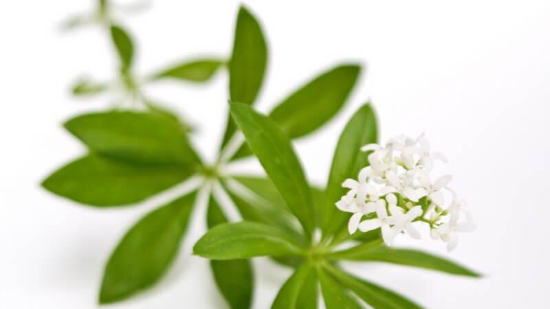 Merkmale, Standorte, Inhaltsstoffe und Verwendung des Waldmeisters als Heilmittel und Würzpflanze