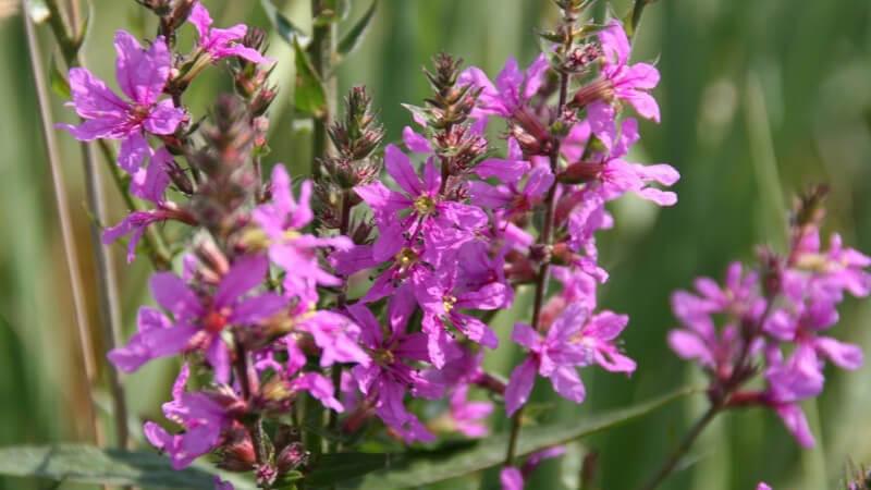 Merkmale, Arten, Standorte und Verwendung des Weidenröschens als Heilmittel sowie im Haushalt