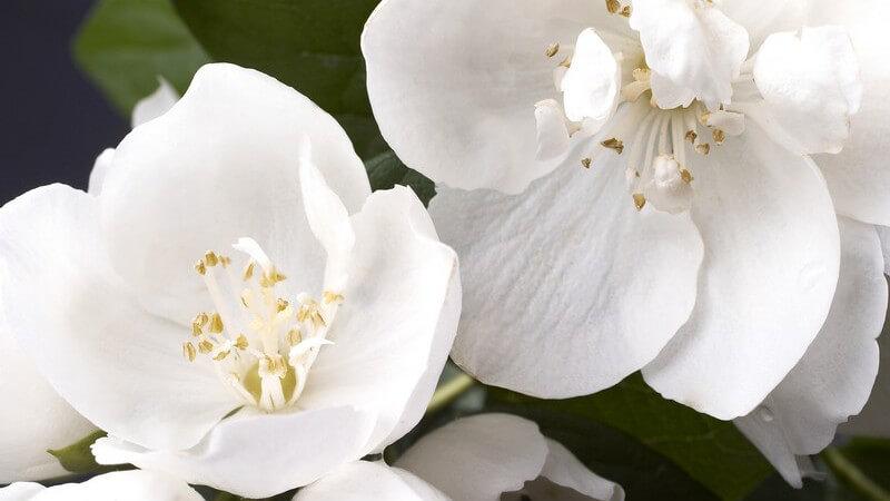 Merkmale, Arten, Inhaltsstoffe und Verwendungsmöglichkeiten des Jasmins als Heilmittel