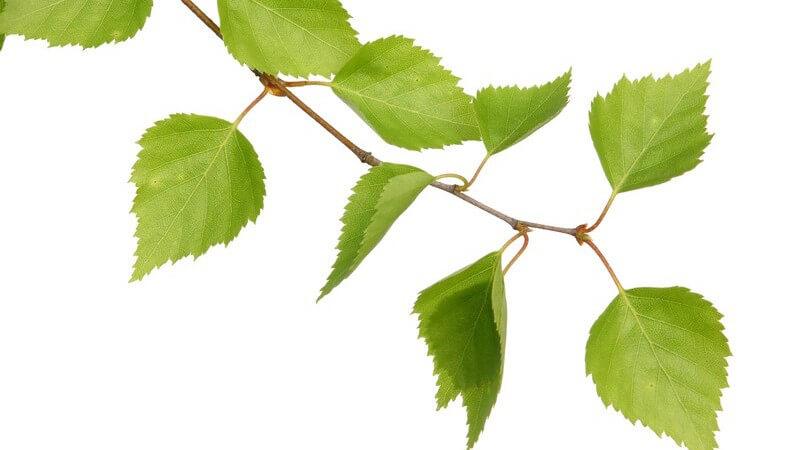 Merkmale und Arten der Birke sowie die Verwendung von Birkenrinde und -holz und wie man die Birke als Heilmittel und Kosmetikum anwenden kann