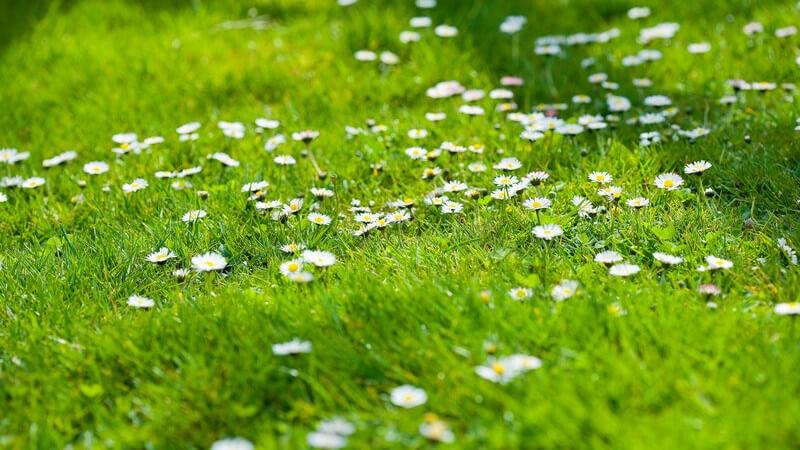 Merkmale, Arten und Standorte sowie Inhaltsstoffe und Verwendung von Augentrost als Heilmittel
