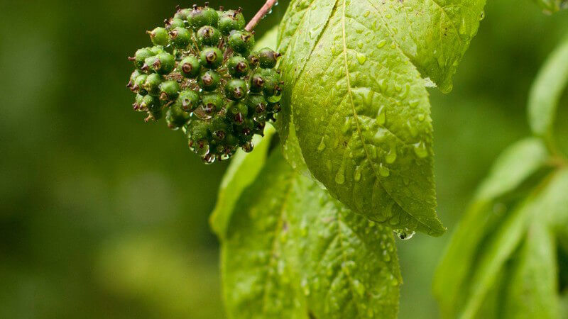 Merkmale, Arten und Standorte sowie Verwendung des Ginsengs als Heilmittel und Kosmetikum