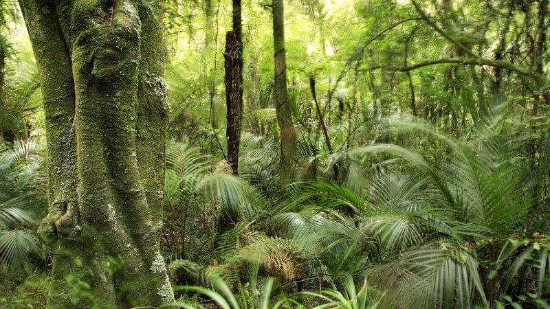 Merkmale und Standorte sowie Verwendung des Guajakholzbaums als Heilmittel und Holzlieferant