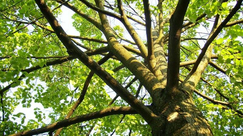 Merkmale und Standorte sowie Verwendung des Harongabaums als Heilmittel