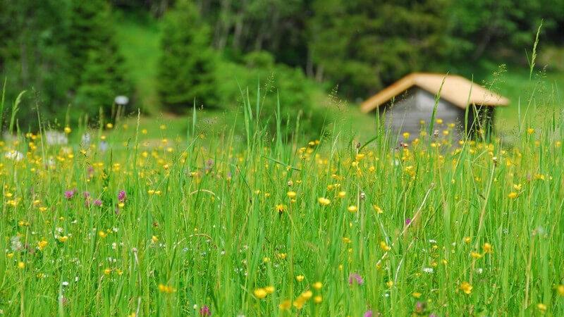 Merkmale, Arten und Standorte sowie Inhaltsstoffe und Verwendung des Hirtentäschels als Heilmittel