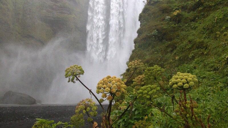 Merkmale und Standorte sowie Verwendung von Isländisch Moos als Heilmittel und bei welchen Beschwerden und Erkrankungen es hilft