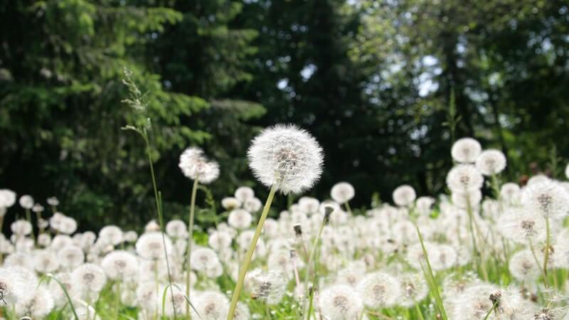 Die Entstehung von Heuschnupfen und wie man ihn erkennen und behandeln kann