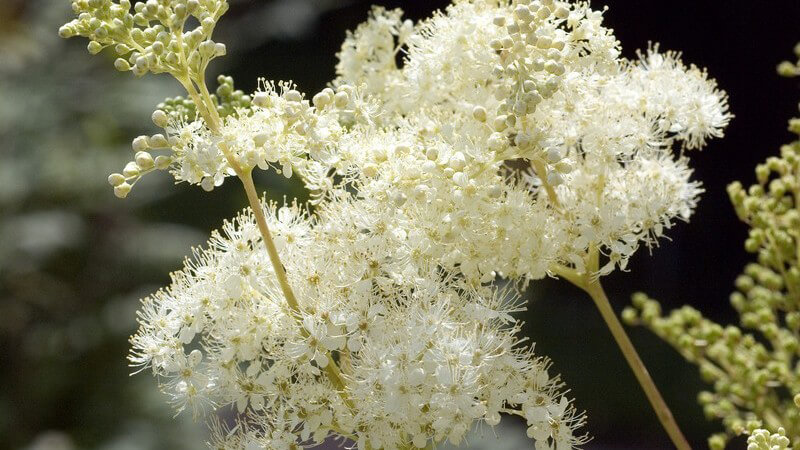 Merkmale, Arten und Standorte sowie Inhaltsstoffe und Verwendung des Mädesüß als Heilmittel und Gewürz