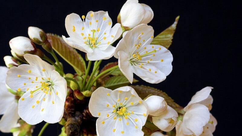 Merkmale, Arten, Standorte, Inhaltsstoffe und Verwendung des Weißdorns als Heilmittel