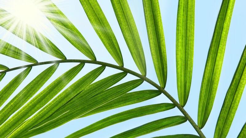 Merkmale, Inhaltsstoffe und Verwendung der Sägepalme in der Schulmedizin und Naturheilkunde