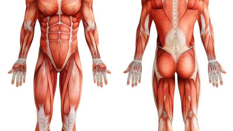 Die Entstehung einer Muskelschwäche und wie man sie behandeln und lindern kann