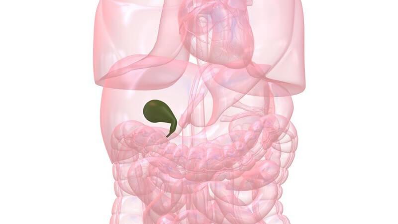 Zwischen den Mahlzeiten speichert die Gallenflüssigkeit die Galle und gibt diese bei Bedarf in den Zwölffingerdarm ab