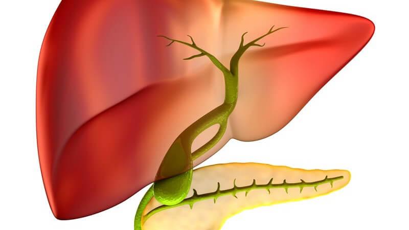 Die Galle wird in der Leber hergestellt und in der Gallenbalse gespeichert