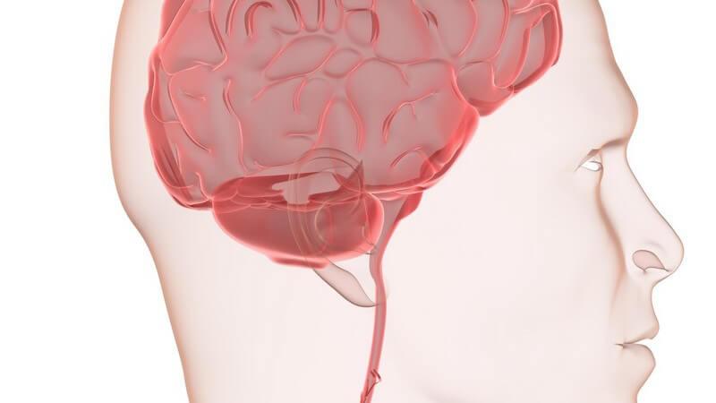 Die Aufteilung des Gehirns erfolgt in Kleinhirn, Großhirn, Hirnstamm (Stammhirn) und Zwischenhirn