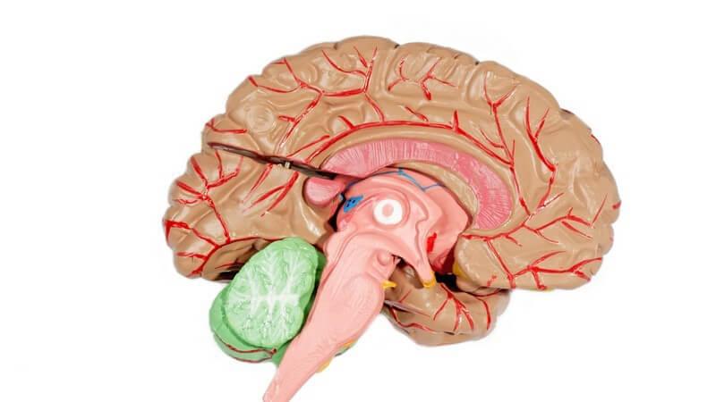 Der Hypothalamus gilt als Boden des Zwischenhirns und ist mitunter wichtig für Ernährung, Fortpflanzung, Temperaturregulation sowie Zeitmessung