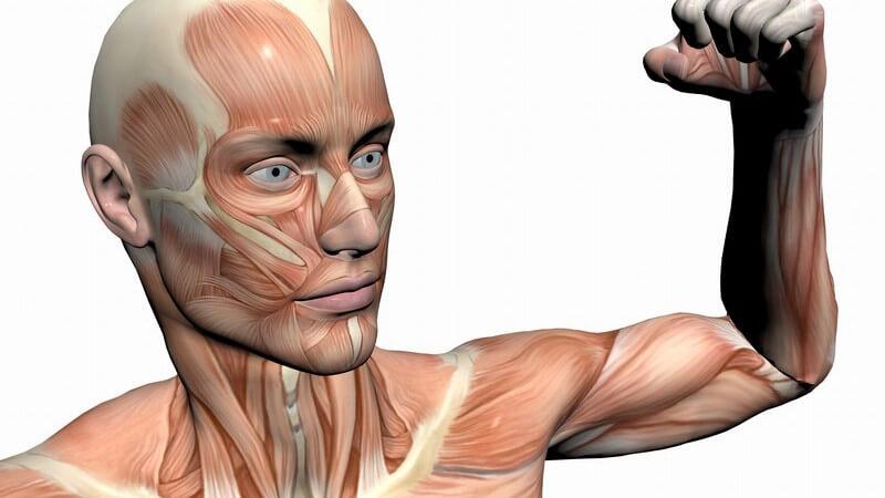 Massemäßig stellt die Muskulatur das größte Organ des menschlichen Körpers dar