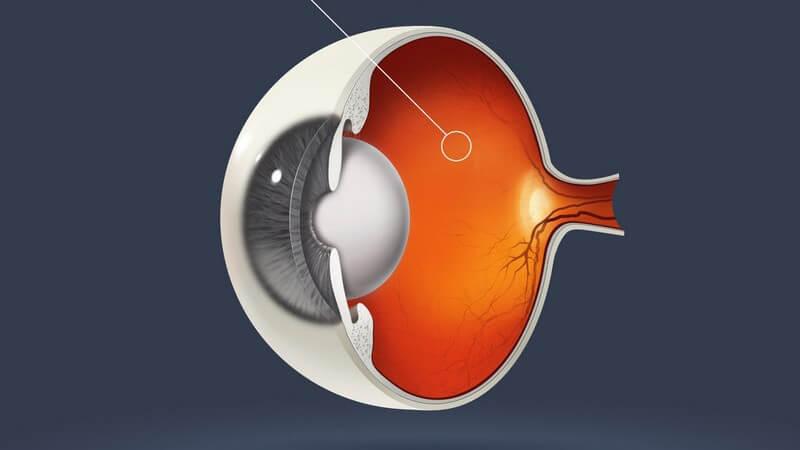 Die Retina sorgt dafür, dass die eingehenden Lichtreize als Bild wahrgenommen werden können
