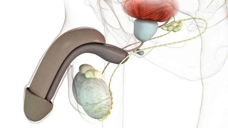 Die Vorsteherdrüse lässt sich in die periurethrale Mantelzone, die Innenzone sowie die Außenzone einteilen