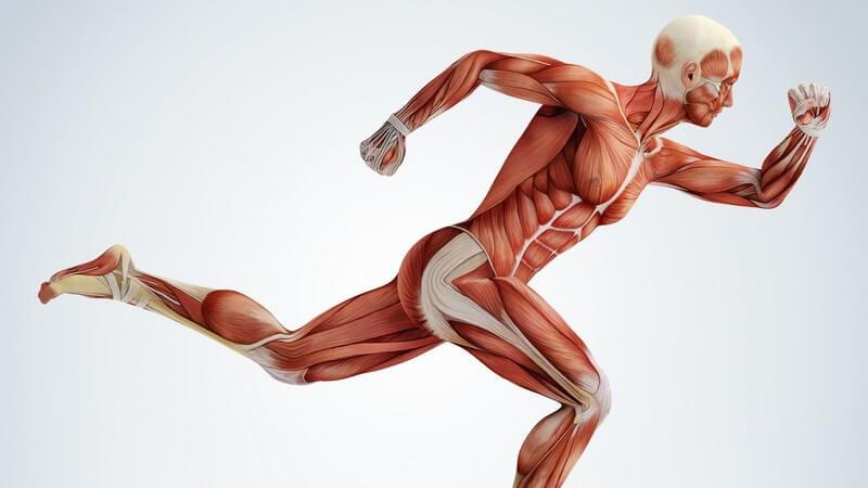 Sehnen und Bänder sind Teil des Stütz- und Bewegungsapparats; sie dienen der Stabilität und ermöglichen zahlreiche Bewegungen