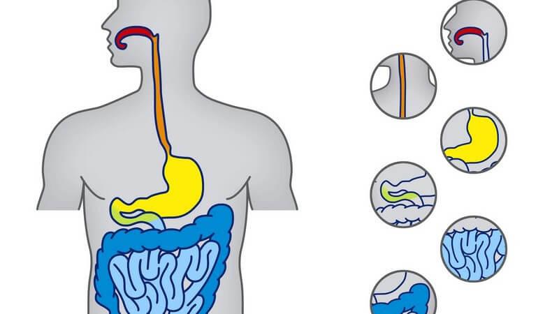 Vom Mund bis zum Enddarm - Die Verdauung läuft im menschlichen Körper in unterschiedlichen Stationen ab