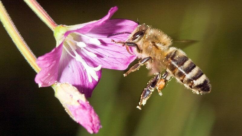 Zu den bekanntesten essbaren Insekten zählen Heuschrecken